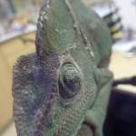 U Chameleona hlenohnisave vytoky z oka