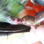 pohled na končetinu po operaci a odstranění kroužku