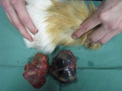 Polycystická ovaria u morčat